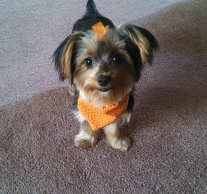 Bella (7 mos old) - Yorkshire Terrier Puppy For Sale Premier Pups