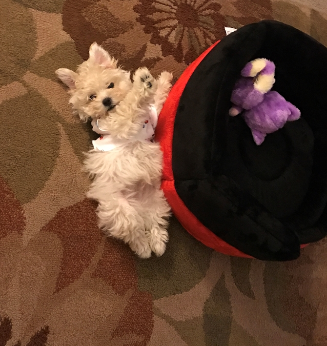 Connor (Tobias) - Maltipoo Puppy For Sale Premier Pups