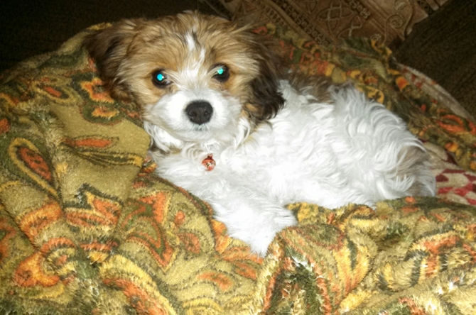 Carly - Cavachon Puppy For Sale Premier Pups