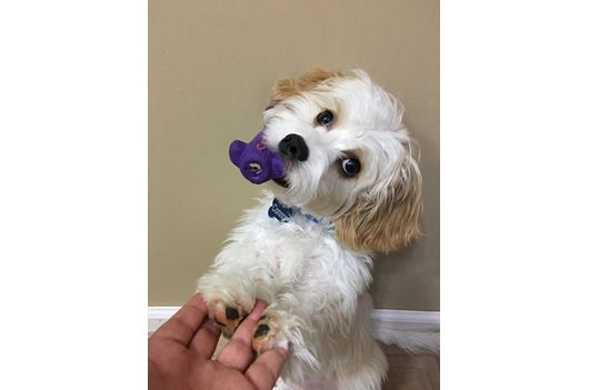 By Photo Congress    Yorkie Poo Puppies For Adoption In Pa