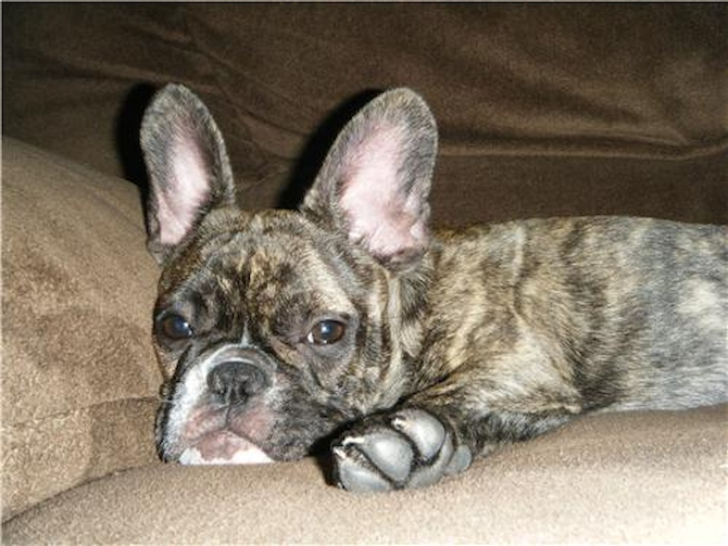 Abby previously known as (Tyra) - French Bulldog Puppy For Sale Premier Pups