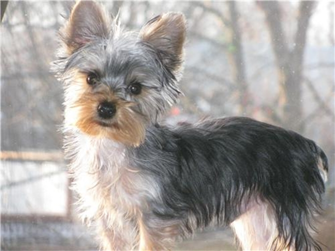 Brodie - Yorkshire Terrier Puppy For Sale Premier Pups