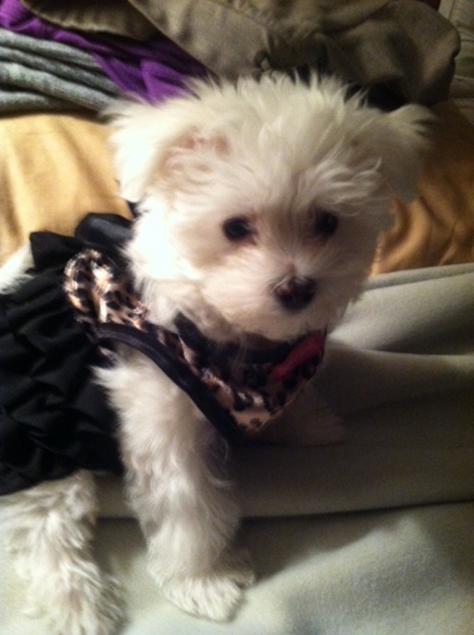 Gigi - Maltese Puppy For Sale Premier Pups