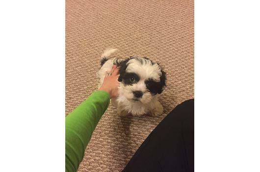 Pomsky Yorkie Mini Goldendoodle Cavapoo Morkie Puppies Gallery Pg 20 For Adoption