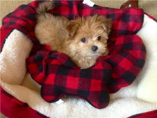 Muffin - Morkie Puppy For Sale Premier Pups