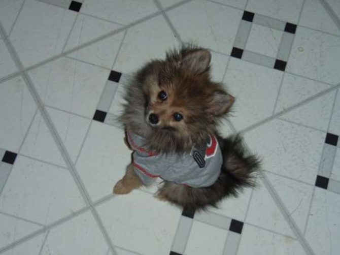 Zues (was Teddy) - Pomeranian Puppy For Sale Premier Pups