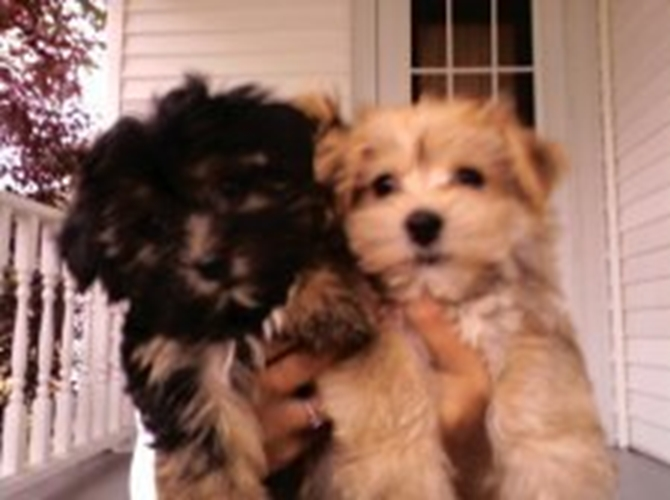 Bailey and Sampson - Yorkshire Terrier Puppy For Sale Premier Pups