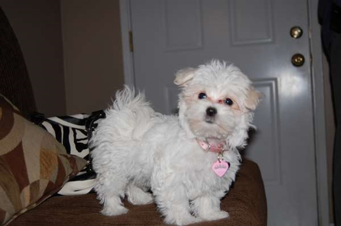 Tanzie - Maltese Puppy For Sale Premier Pups