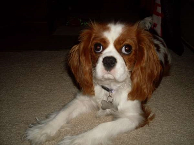 *Daisy* - Cavalier King Charles Spaniel Puppy For Sale Premier Pups