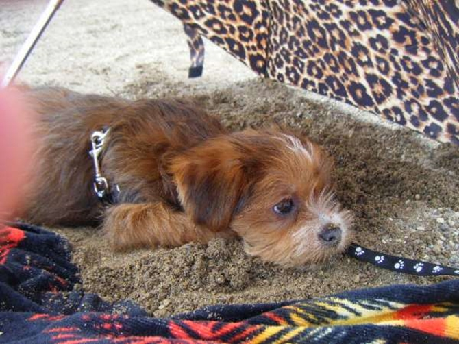 Teddy (formerly Nathan) Yorkie=Poo - Yorkshire Terrier Puppy For Sale Premier Pups