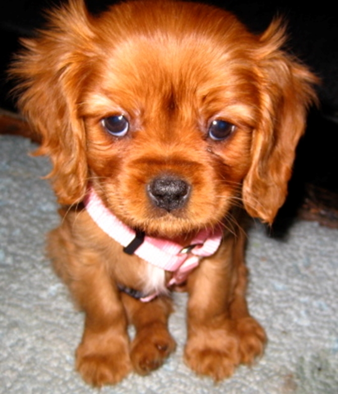 Aphrodite - Cavalier King Charles Spaniel Puppy For Sale Premier Pups