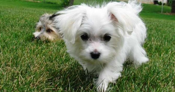 Wrigley Middleton - Maltese Puppy For Sale Premier Pups