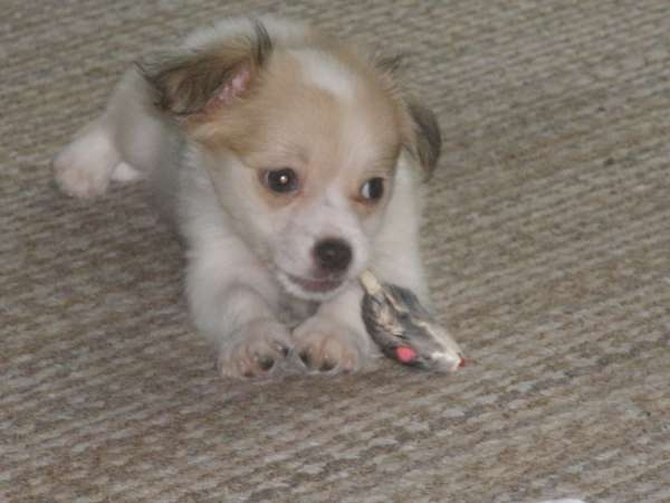 Izzy - Papillon Puppy For Sale Premier Pups