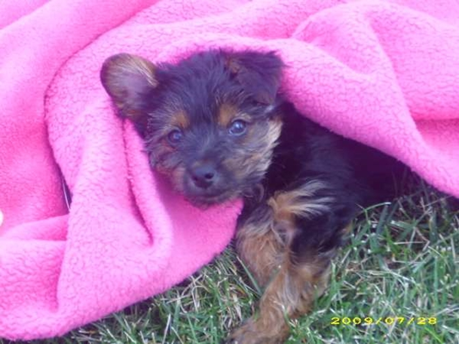 Rascal (formerly jeremy) - Yorkshire Terrier Puppy For Sale Premier Pups