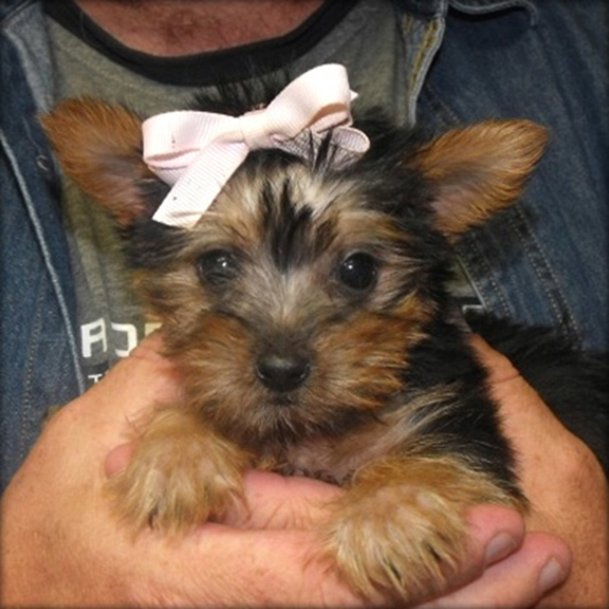 izzabella - Yorkshire Terrier Puppy For Sale Premier Pups