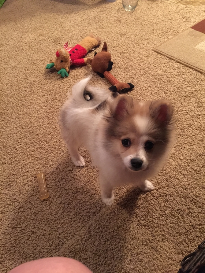 Lolo - Pomeranian Puppy For Sale Premier Pups