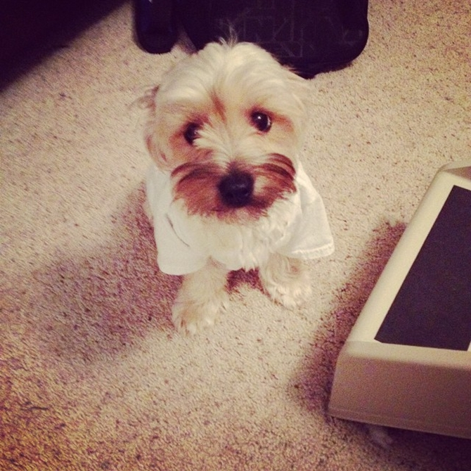 Stewie - Morkie Puppy For Sale Premier Pups
