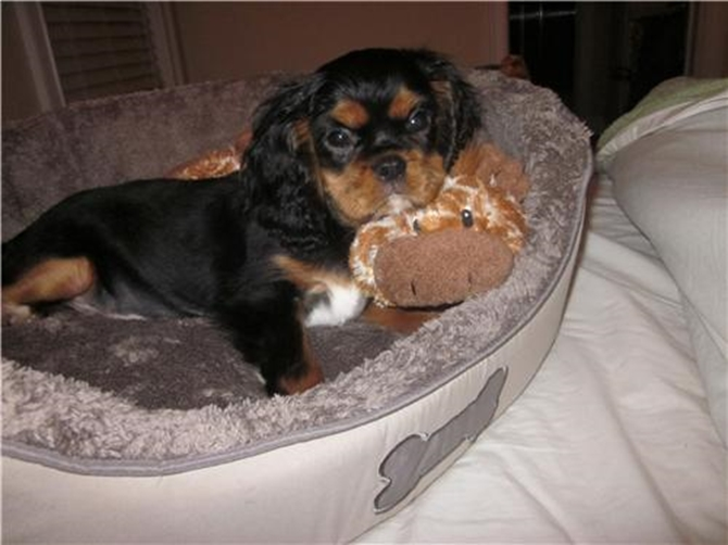Gabbi - Cavalier King Charles Spaniel Puppy For Sale Premier Pups