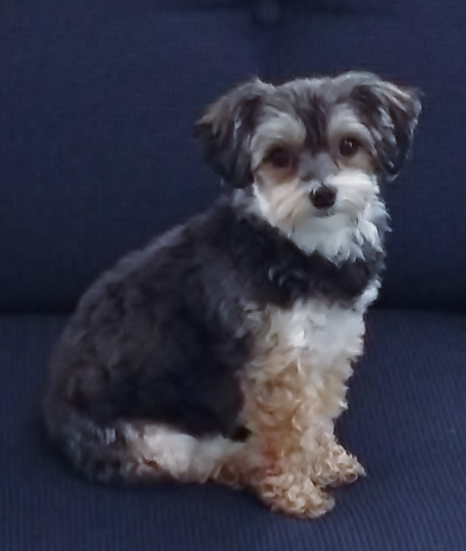 Graci - Yorkie Poo Puppy For Sale Premier Pups