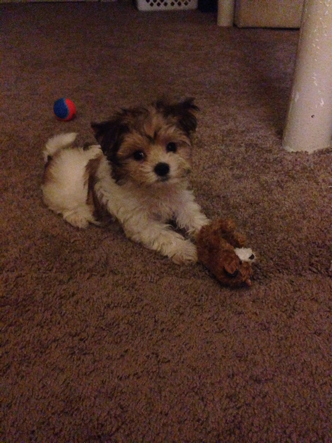 Former name Kobe new name Cooper - Morkie Puppy For Sale Premier Pups