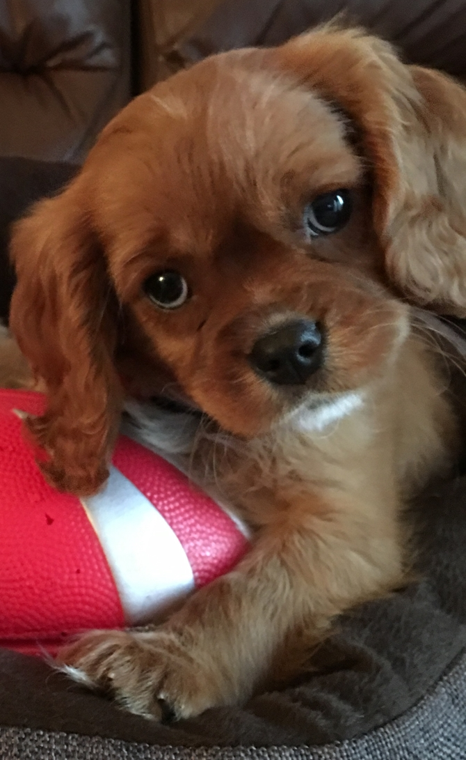 Charlie - Cavalier King Charles Spaniel Puppy For Sale Premier Pups