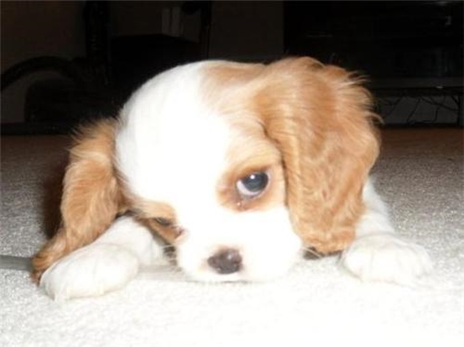 PJ (Formerly Harold) - Cavalier King Charles Spaniel Puppy For Sale Premier Pups