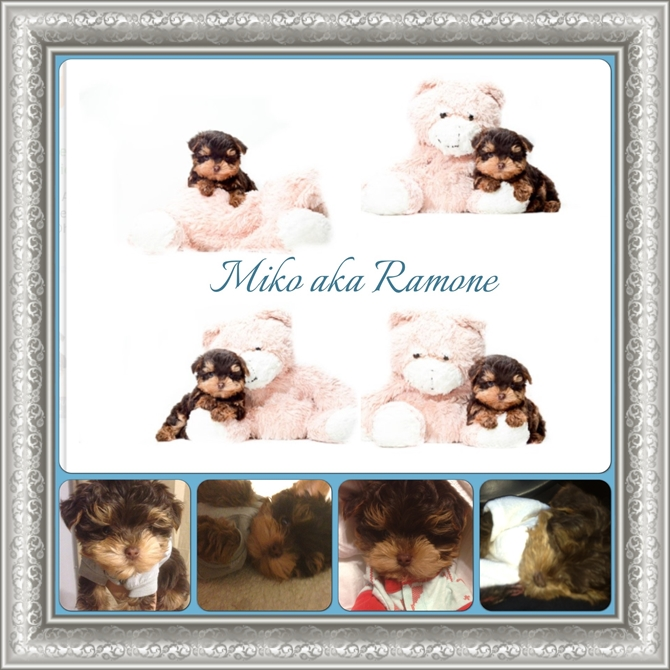 Miko - Yorkie Poo Puppy For Sale Premier Pups