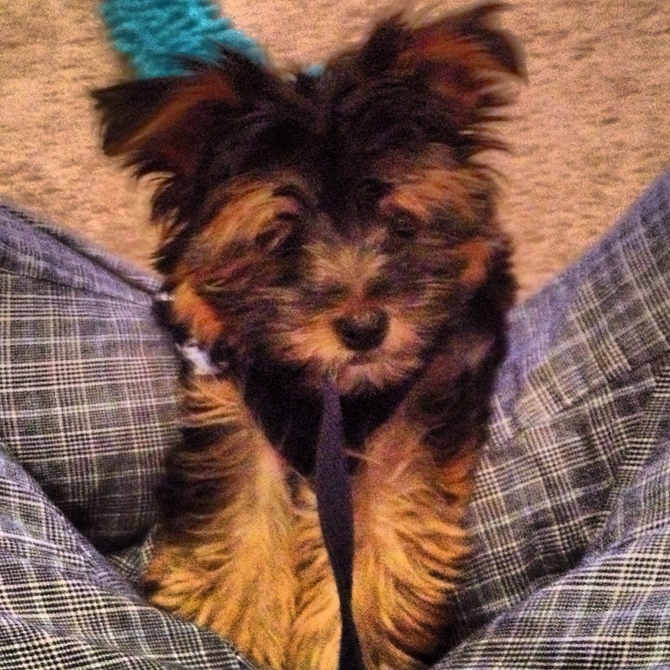 Gizmo (Formaly Ralph) - Morkie Puppy For Sale Premier Pups