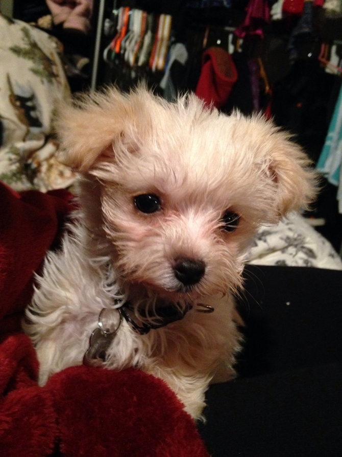 Jason aka Plato - Morkie Puppy For Sale Premier Pups