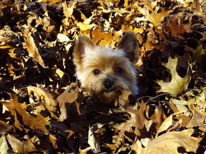 Rascal - 1 years old - Yorkshire Terrier Puppy For Sale Premier Pups