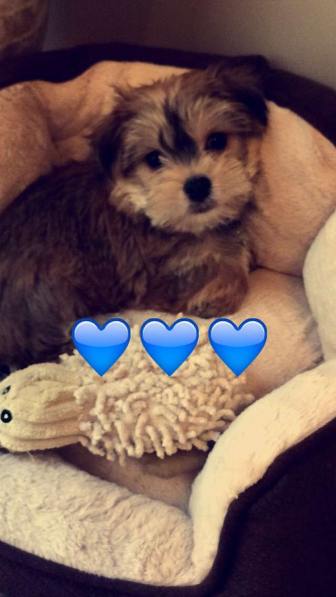 Buddy (formerly Monte) - Morkie Puppy For Sale Premier Pups