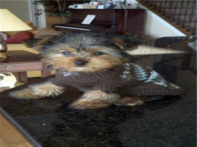 Theodore - Yorkshire Terrier Puppy For Sale Premier Pups