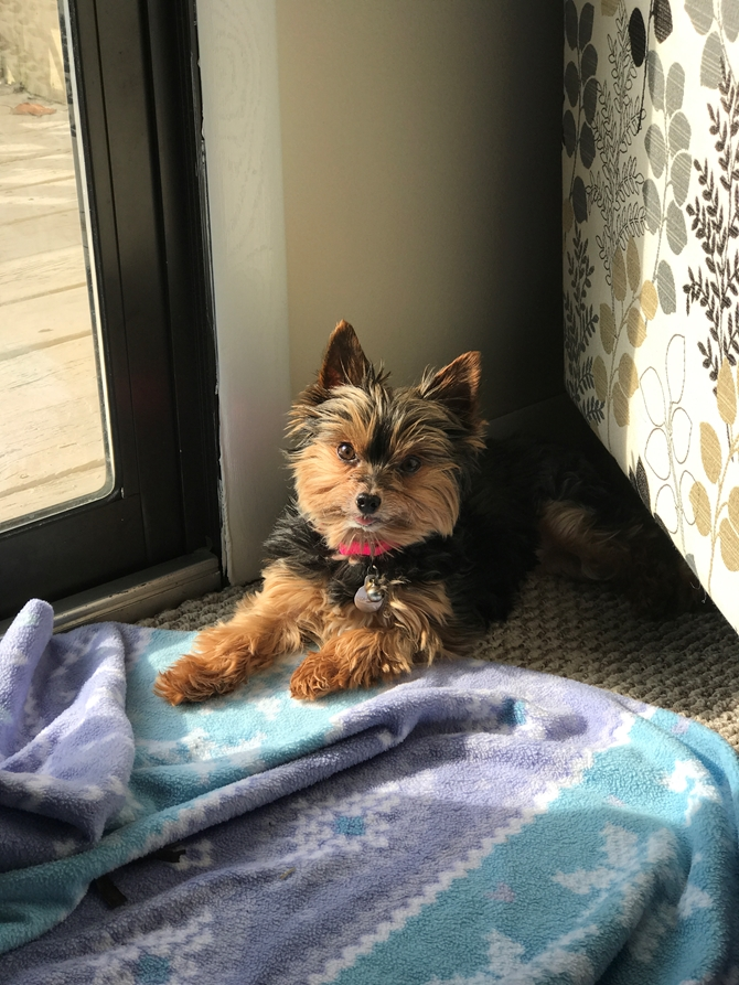 Bella Grace Teacup Yorkie Yorkshire Terrier West Virginia