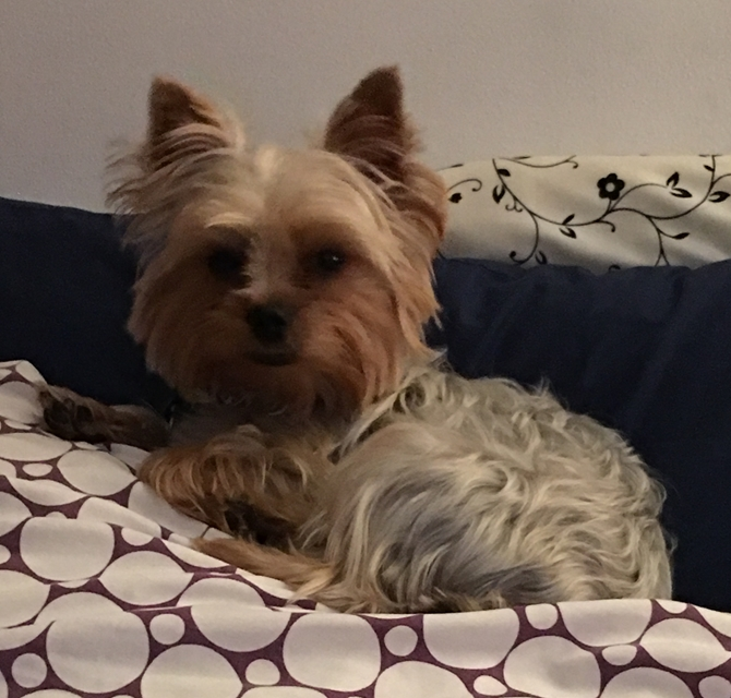 "Bryanna ""Bree"" Jalex - Yorkshire Terrier Puppy For Sale Premier Pups"