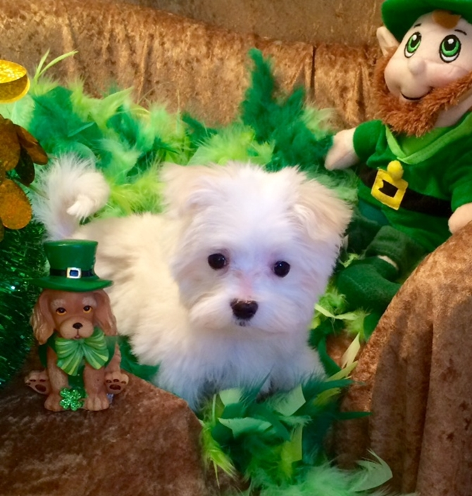 Abby - Maltese Puppy For Sale Premier Pups