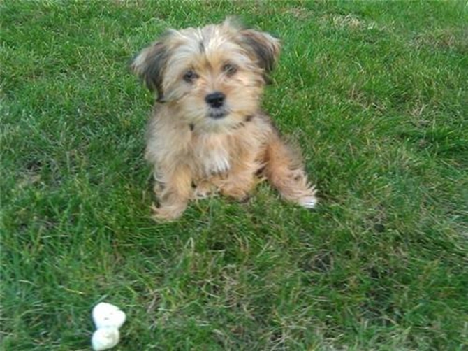 Nittany (formerly Carolina) - Yorkie Poo