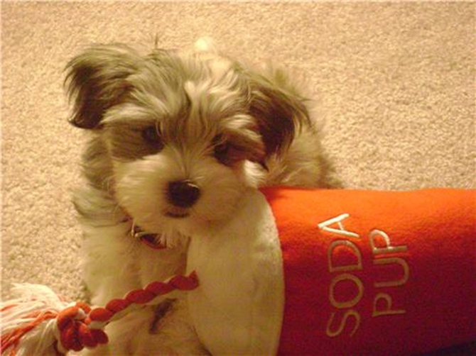 Napoleon (Jake) - Havanese Puppy For Sale Premier Pups