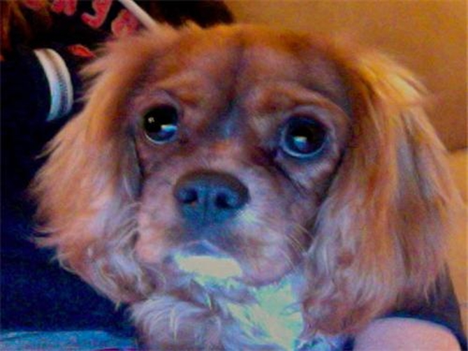 Genevieve (formerly Ruby) - Cavalier King Charles Spaniel Puppy For Sale Premier Pups