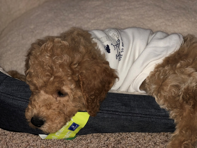 Romeo Formerly Sawyer Mini Goldendoodle Pittsburgh Pa