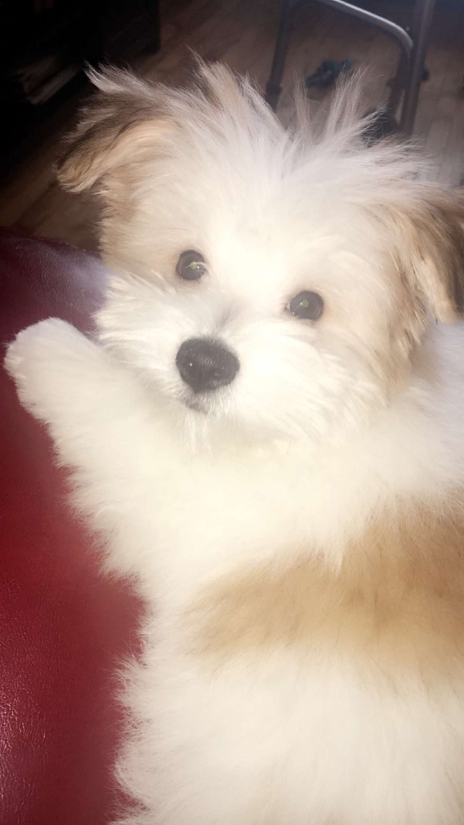 Ray - Maltipom Puppy For Sale Premier Pups