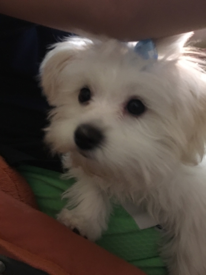 Dolly - Maltese Puppy For Sale Premier Pups