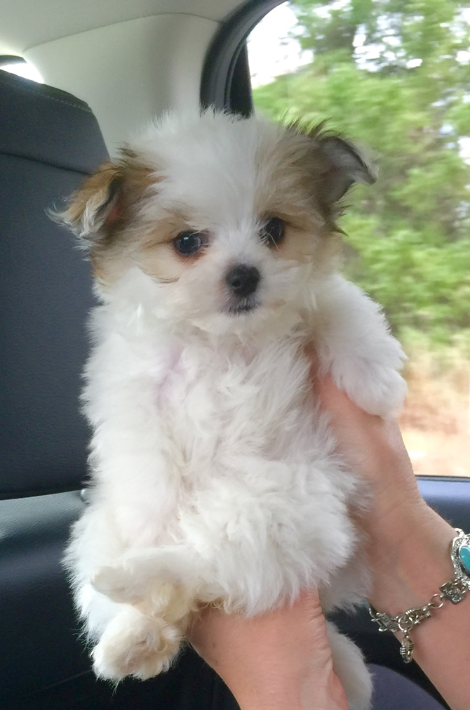 LuLu - Maltipom Puppy For Sale Premier Pups