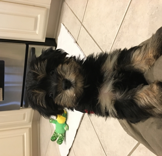 Pomsky Yorkie Mini Goldendoodle Cavapoo Morkie Puppies Gallery Pg 6 For Adoption