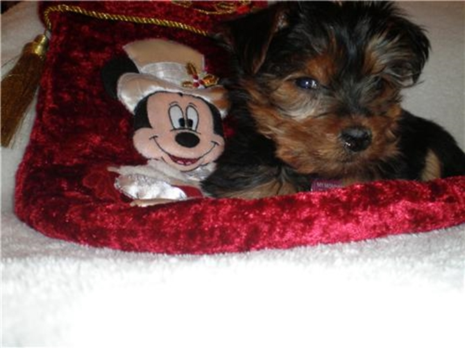Bella Lisa formerly Lisa - Yorkshire Terrier Puppy For Sale Premier Pups