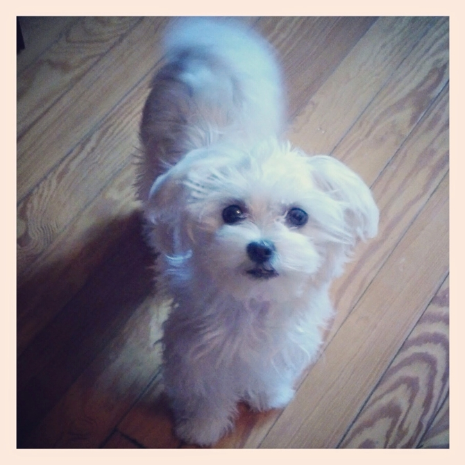 Kendall - Maltese Puppy For Sale Premier Pups