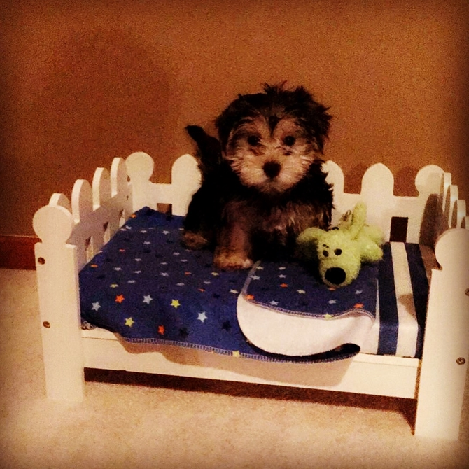 Jetes - Morkie Puppy For Sale Premier Pups