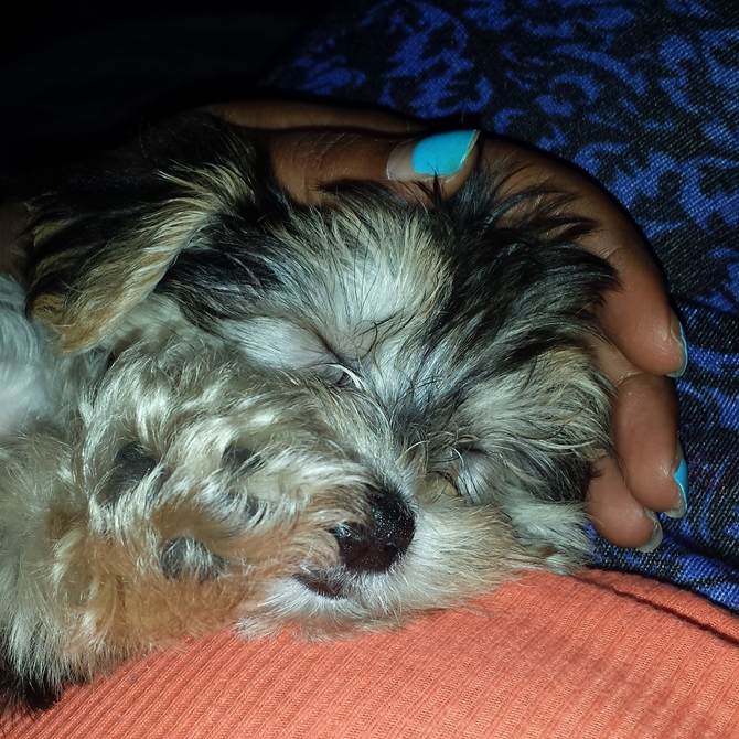 POLO - Morkie Puppy For Sale Premier Pups