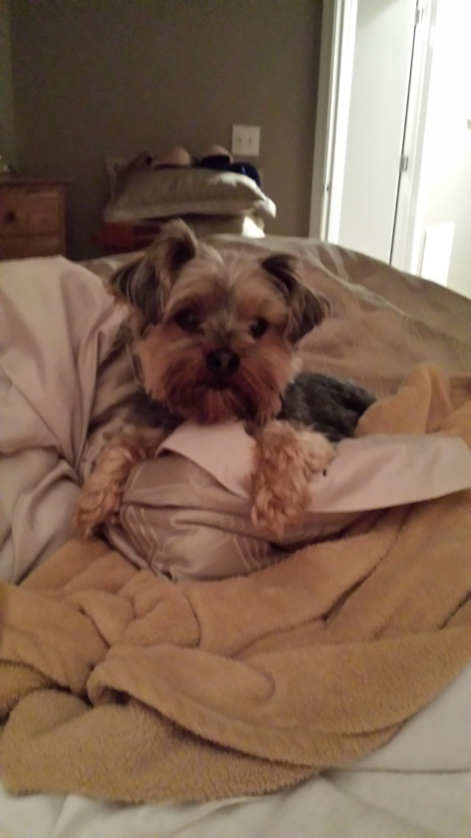 Rascal - Yorkshire Terrier Puppy For Sale Premier Pups