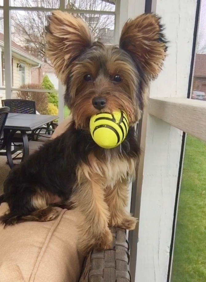 Roscoe - Yorkshire Terrier Puppy For Sale Premier Pups