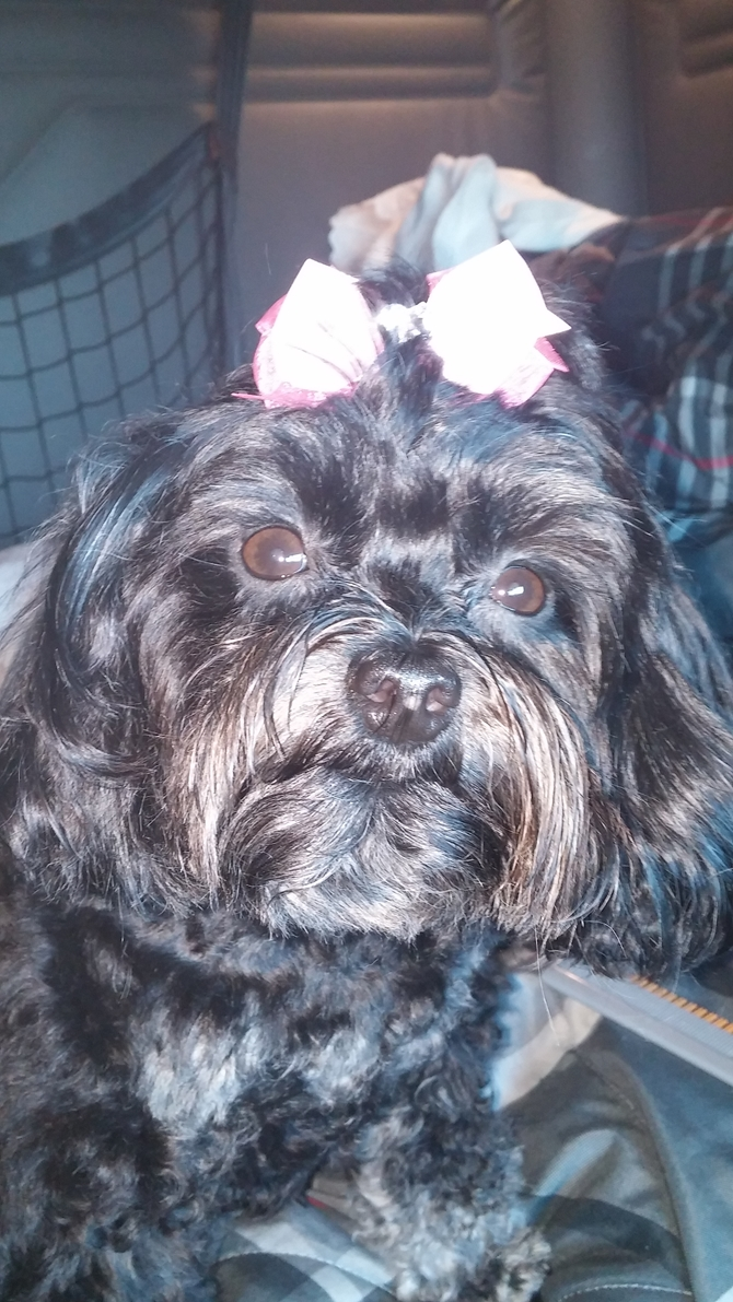 """Happy 3rd. Birthday! PEBBLES - Yorkie Poo Puppy For Sale Premier Pups"